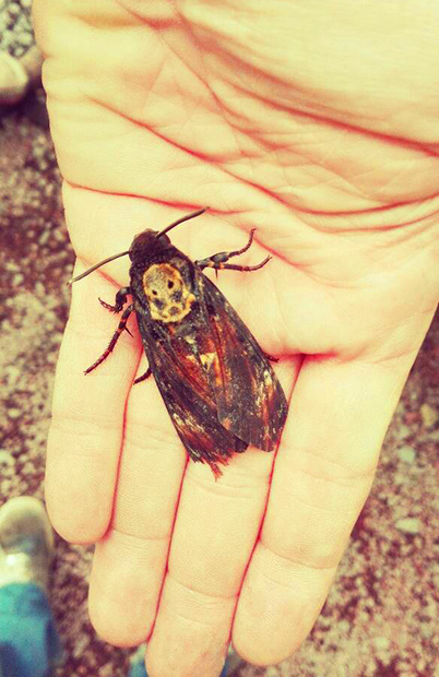 insetto teschio